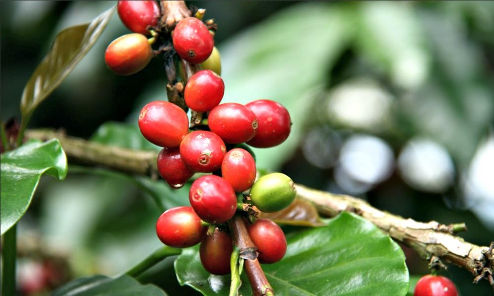 crece-la-produccion-exportacion-cafe-colombia
