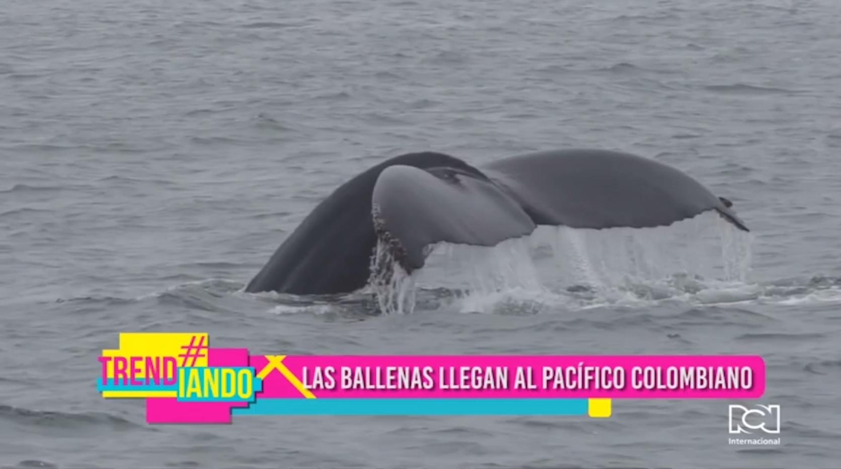 Ballenas llegan al Pacífico colombiano
