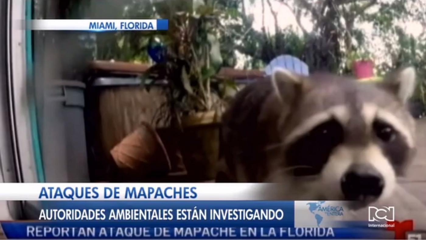 Autoridades de la Florida investigan denuncias de ataques de mapaches en el sur del estado