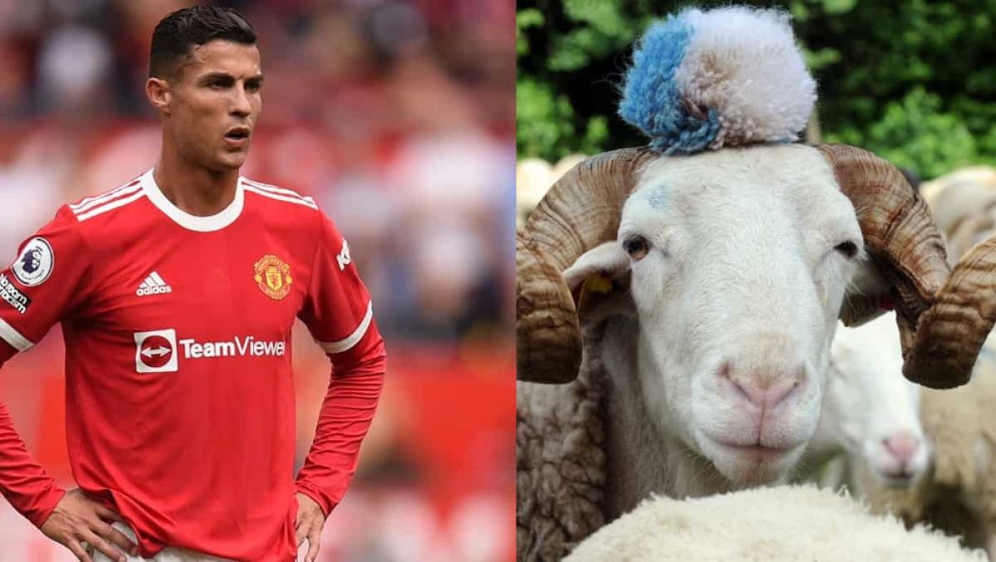 Cristiano, incapaz de lidiar con unas ovejas, se ve obligado a mudarse de mansión