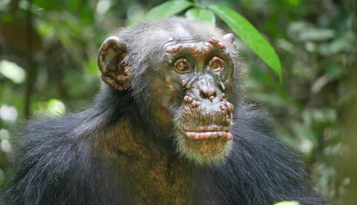 Descubren primeros casos de chimpancés salvajes con lepra en África