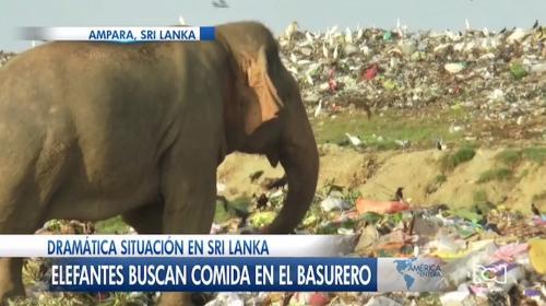 Preocupación en Sri Lanka por la invasión de elefantes a un basurero en búsqueda de alimento