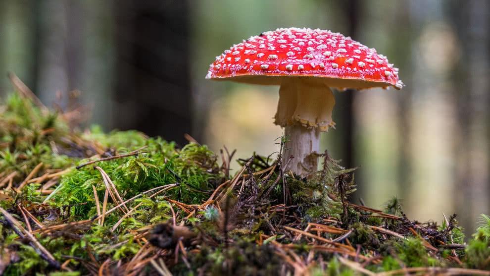 Ciudad estadounidense podría despenalizar el consumo de  hongos alucinógenos