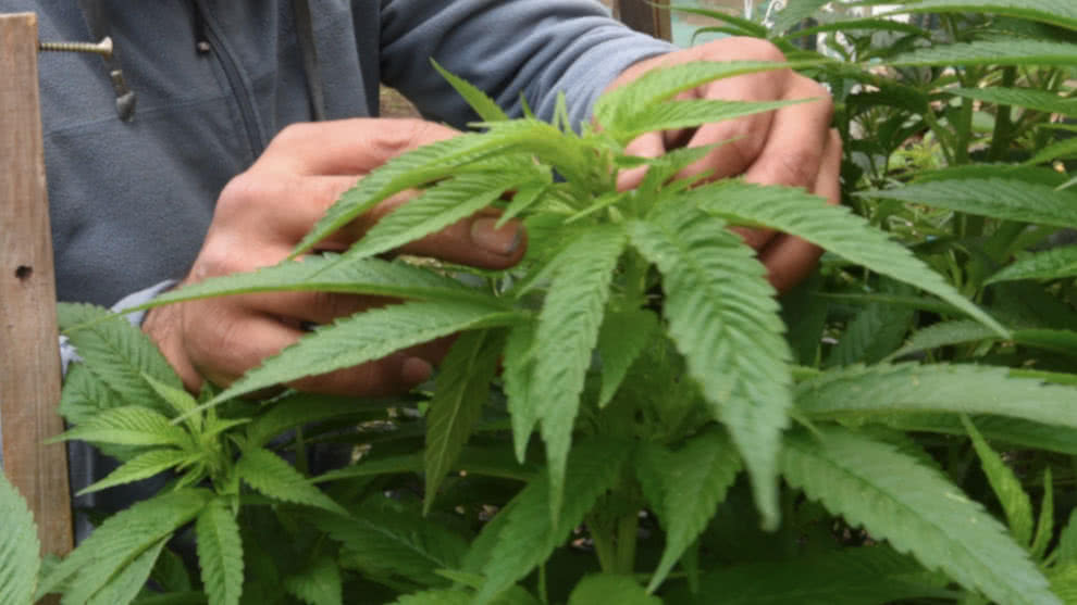 A partir de diciembre se podrán adquirir alimentos preparados con marihuana en Canadá