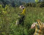 Cultivos de coca. Foto: AFP