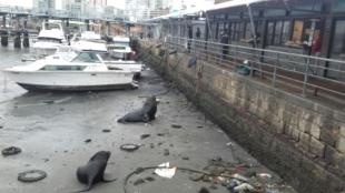 Dos focas quedaron en la arena del Puerto de Montevideo en Uruguay. Foto: Bomberos Interamericanos.