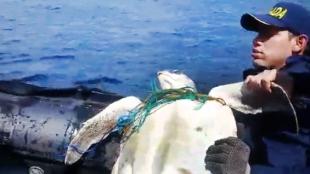 El momento en que la tortuga carey era rescatada por infantes de la Armada colombiana. Foto: Armada Nacional / Editada Noticias RCN.