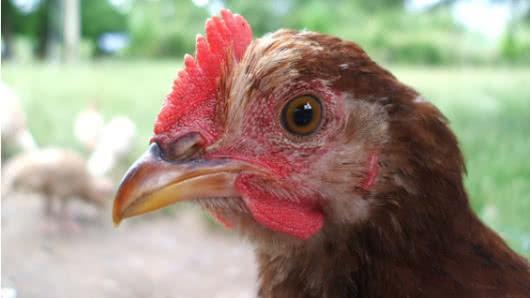 Alerta en Colombia por presencia de virus aviar Newcastle