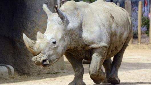 Último rinoceronte blanco del mundo busca pareja en Tinder ¿le darías match?