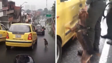 Perro persigue taxi.