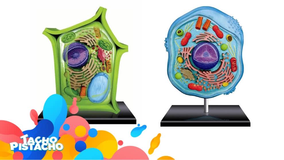 Tacho Pistacho - Semejanzas y diferencias de la célula animal y vegetal